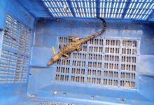 Photo of ফের খেজুরিতে ফের সমুদ্র খাঁড়ি থেকে উদ্ধার কুমির, এলাকায় আতঙ্ক