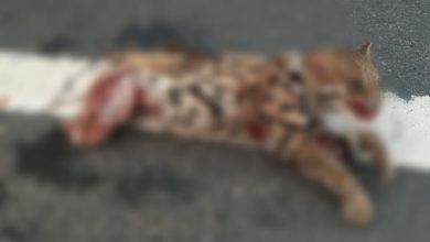 Photo of আলিপুরদুয়ারে গাড়ি ধাক্কায় প্রাণ গেল বনবিড়ালের… উদ্ধারের আগেই গায়েব মৃত প্রাণীর দেহ